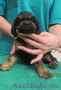 Продаются щенки китайской хохлатой собачки и американского кокер спаниеля