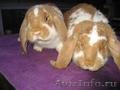 Продам кроликов породы Французкий баран