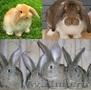 Кролики Бельгийский обр,  Фландр,  Ризен,  Баран
