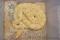 Продаю рептилий.Питоны и крокодилы., Объявление #588973