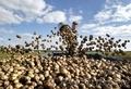продам картофель семенной оптом от сельхозпроизводителя