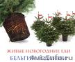 Живые новогодние ели в горшках из Бельгии и Дании