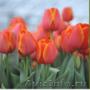 Тюльпаны из Красноярска
