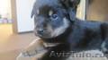 щенок ротвейлера