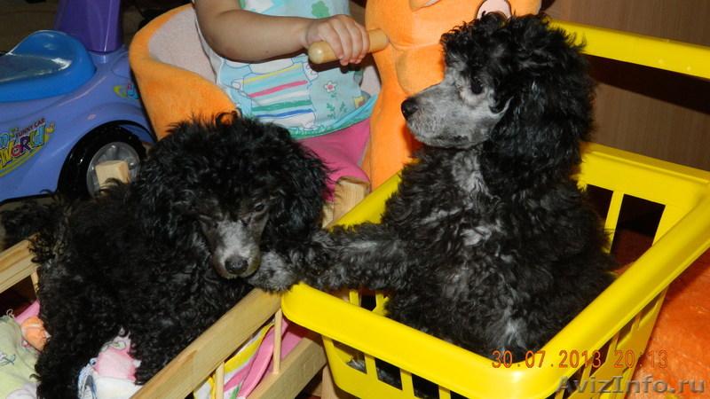Пудель в Красноярске продажа, цены, фото | щенки