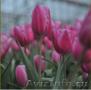 Тюльпаны из Красноярска - Изображение #4, Объявление #828346
