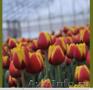 Тюльпаны из Красноярска - Изображение #3, Объявление #828346