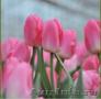Тюльпаны из Красноярска - Изображение #2, Объявление #828346
