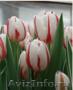 Тюльпаны из Красноярска - Изображение #5, Объявление #828346