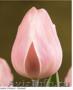 Тюльпаны из Красноярска к 8 марта 2018 года - Изображение #2, Объявление #1001617