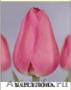 Тюльпаны из Красноярска к 8 марта 2018 года