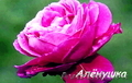 розы садовые (саженцы)