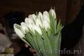 Тюльпаны в Красноярске оптом