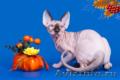 Не котёнок, а обояшка, зефирка и неженка. - Изображение #2, Объявление #1322528