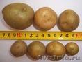 Семенной картофель. Миниклубни семенного картофеля.