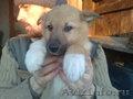 Лайки щенки в хорошие руки