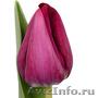 Голландские тюльпаны оптом из теплицы Трифлор - Изображение #2, Объявление #1600751
