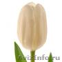 Голландские тюльпаны оптом из теплицы Трифлор - Изображение #3, Объявление #1600751